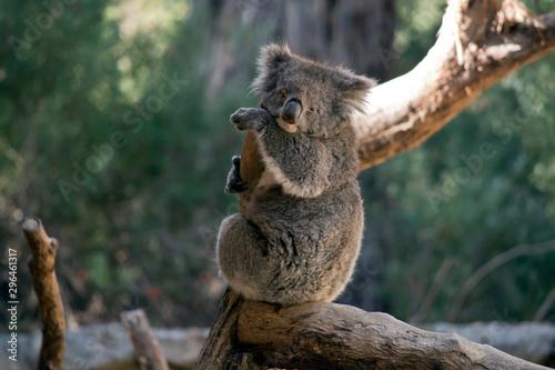 Garden Poster Koala the koala is sitting on a tree branch