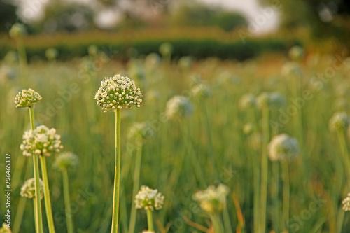 Wall Murals Spring Onion field