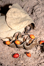 Common Coral Tree (Erythrina Lysistemon) Orange Seeds And Seed Pod Lying On The Ground, Uganda, Africa