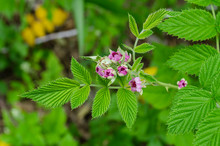 Small Blossoms Of Raspberry Tree