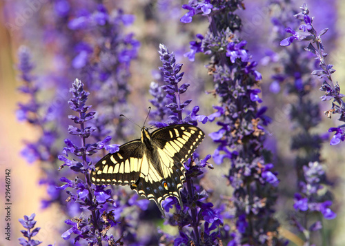 Cuadros en Lienzo Close up eastern tiger swallowtail butterfly drinking nectar from purple flowers