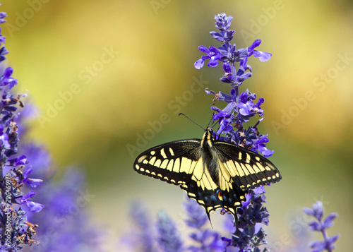 Fotografía Close up eastern tiger swallowtail butterfly drinking nectar from purple flowers