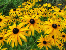 Field Of Yellow Black-eyed Sus...