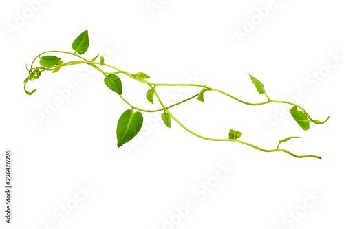 Fotobehang Planten Bush grape or three-leaved wild vine cayratia (Cayratia trifolia) liana ivy plant bush, nature frame jungle border isolated on white background, clipping path included