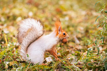 Red-gray Squirrel Hides Nuts I...