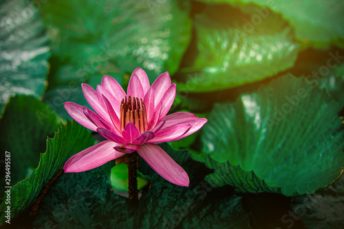 Photo Stands Lotus flower closeup beautiful lotus flower and green leaf in pond, purity nature background, red lotus water lily blooming on water surface and dark blue leaves toned