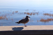 Young Seagull Standing On A Wall Overlooking The Water