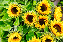 A Bouquet Of Sunflowers, Close-up. Background. Space For Text.