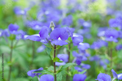 blooming in spring close-up. Nature background. Sweet Violet