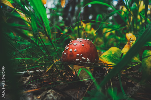 Photo red fly agaric with white spots grows in the grass