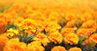 Leinwanddruck Bild - orange flower marigold, Cempasuchil flower. Tagetes Erecta. Field of Flowers of dead, traditional Mexican flower of day of the dead. full frame flower background. copy space