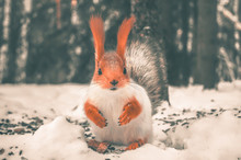 A Young Red Squirrel Changes H...