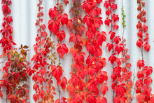 Red Leaves Parthenocissus Plan...