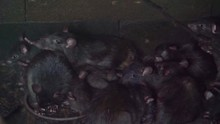 Group Of Black Rats Together, ...