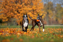 Two Boxer Dogs Playing Outdoors In Autumn