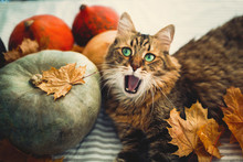 Cute Maine Coon Cat Yawning Wi...