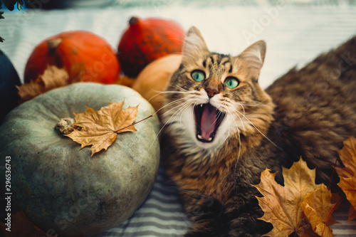 Cadres-photo bureau Chat Cute tabby cat yawning, lying in autumn leaves on rustic table with pumpkins. Maine coon with green eyes and funny emotions playing with yellow leaves. Thanksgiving or Halloween concept