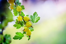Fresh Yellow Gooseberry Branch...
