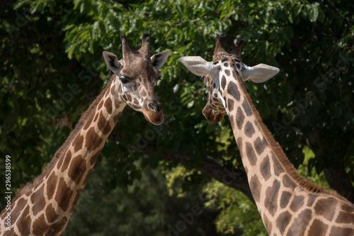 Photo Retrato de una jirafa adulta en cautividad