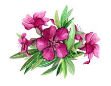 Oleander Bright Pink Flowers W...