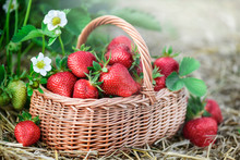 Fresh Strawberry In Wicker Basket. Red Strawberries Flowers And Back Light In Background.