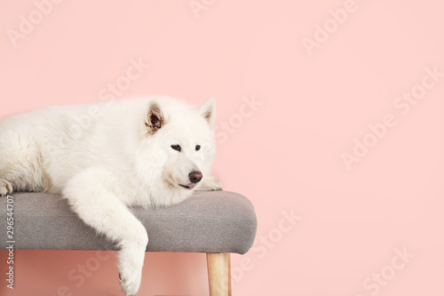 Cute Samoyed dog lying on bench near color wall