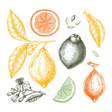 Ink Hand Drawn Citrus Fruits - Lemon Branch. Vector Sketch Of Highly Detailed Lemons Tree With Leaves, Fruits And Flowers Sketches. Watercolor Style Citrus Plants Illustration.