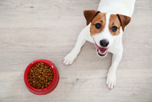 Beautiful Jack Russell Terrier Dog With Dry Food In Bowl