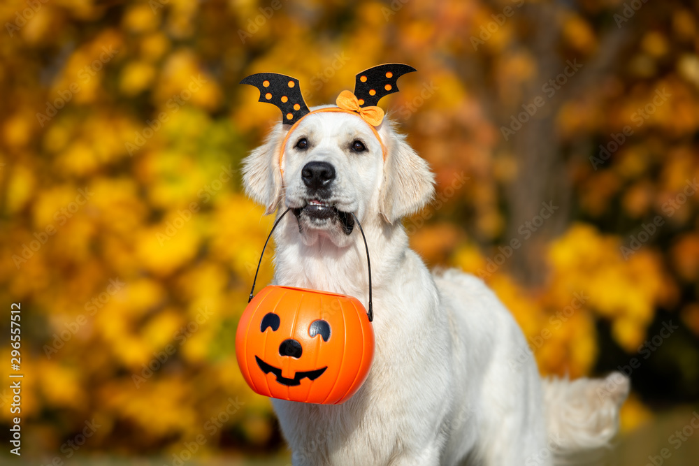 Fototapety, obrazy: happy dog holding a pumpkin in mouth for Halloween