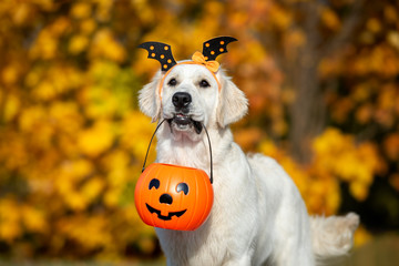 Fototapetahappy dog holding a pumpkin in mouth for Halloween