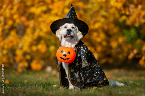 Poster Countryside funny golden retriever dog posing for halloween in a costume