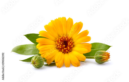 Pinturas sobre lienzo  Calendula. Flowers with leaves isolated on white background
