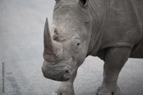 Rhino Face, Rhino Horn, Rhino looking, Big 5, Big Five, South Africa Fototapeta