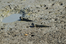 Beautiful Action Of Mudskipper...