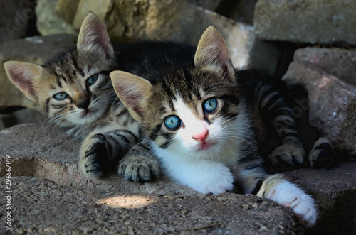 Two adorable tabby kittens laying together on the ground Wallpaper Mural