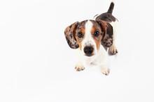 Little Cute Dachshund Puppy Do...