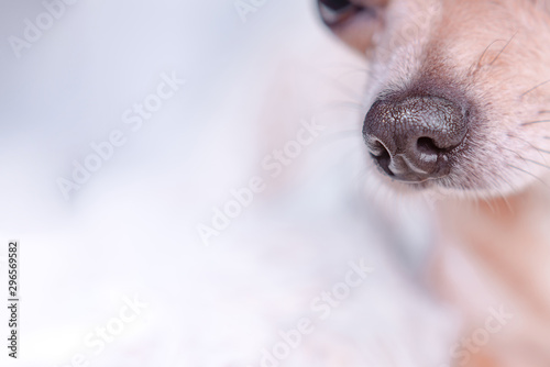 Obraz Smooth-haired Chihuahua dog. Chihuahua Girl looks nice on a white background. Portrait of smooth-haired beige Chihuahua against the beautiful bokeh - fototapety do salonu
