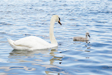 White Swan With Its Young Chick Swimming
