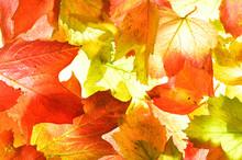Golden Orange Autumn (fall) Le...