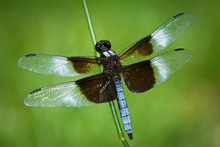Widow Skimmer Dragonfly (Libel...