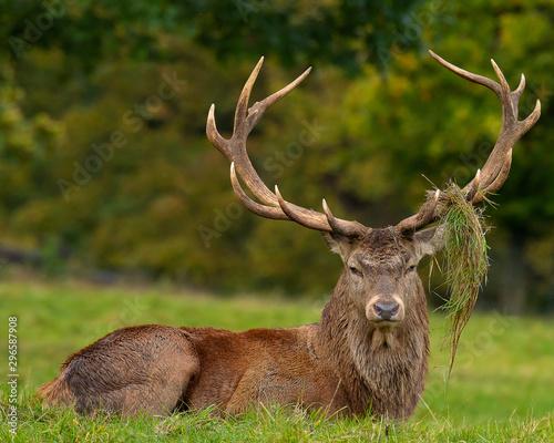Poster Deer Stag
