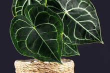 Close Up Of Heart-shaped  Tropical 'Anthurium Clarinervium' Plant Leaf With Beautiful Lace Pattern On Dark Background