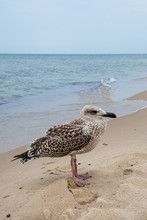 Grown Chick, Herring Young Sea Gull Standing On The Sandy Beach, Close Up, Vertical