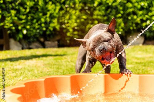 Spoed Fotobehang Franse bulldog Happy french bulldog puppy playing by the pool