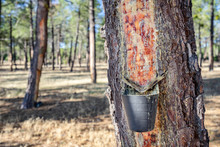 Close Up Of Extract Natural Pine Resin In Spain.