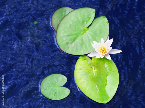 Deurstickers Waterlelies White water lily in pond, nymphaea alba. White lotus flower top view, white nenuphar, above