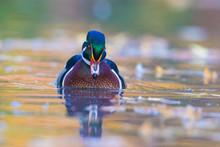 Beautiful Wood Duck Drake In A...