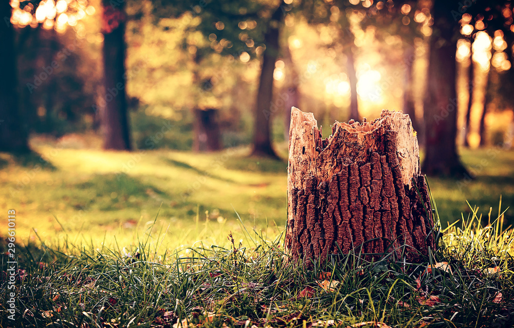 Fototapety, obrazy: Old stump in the autumn park
