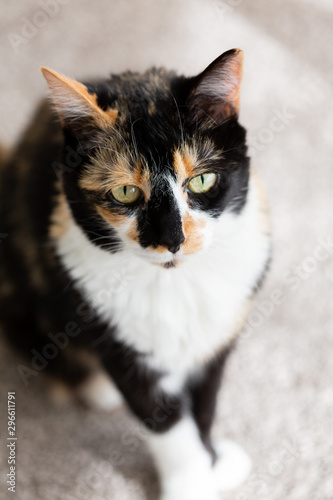 Black and Yellow Calico Cat
