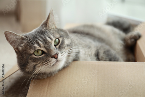 Obraz Cute grey tabby cat in cardboard box on floor at home - fototapety do salonu